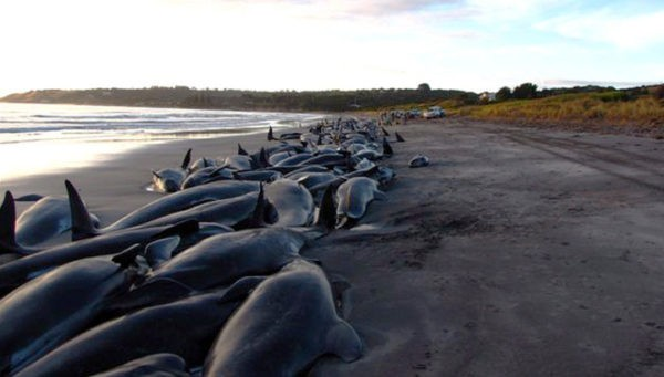 Массовый выброс дельфинов на сушу
