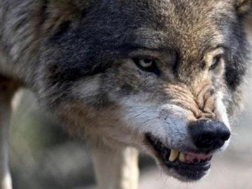 на людей напала волчица